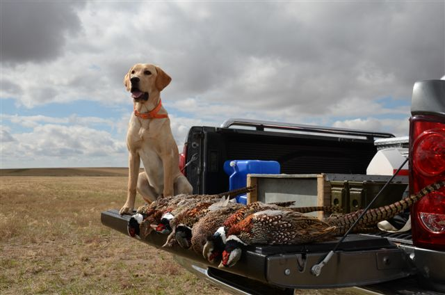 Pheasant hunting - Bode at 7 months